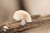 Lentinellus flabelliformis image