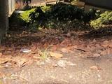Agaricus moelleri image