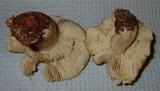 Tricholoma aestuans image