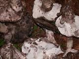 Boletopsis leucomelaena image