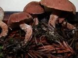 Cystodermella cinnabarina image