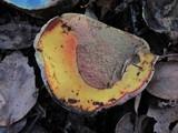 Boletus eastwoodiae image