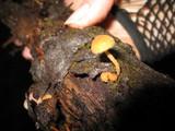 Flammulaster muricata image