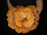 Russula fragrantissima image