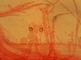Mycena rubromarginata image