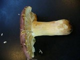 Russula placita image