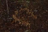 Psilocybe pelliculosa image