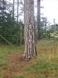Russula caerulea image
