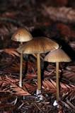 Entoloma formosum image