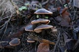Macrocystidia cucumis image