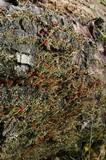 Cladonia transcendens image
