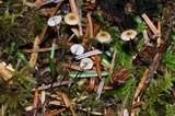 Crinipellis piceae image