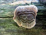 Poronidulus conchifer image