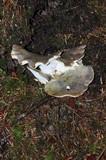 Albatrellus flettii image