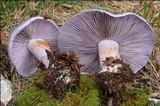 Cortinarius cumatilis image