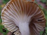 Camarophyllus borealis image