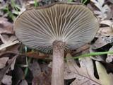 Clitocybula atrialba image