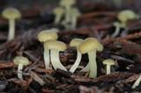 Chrysomphalina grossula image