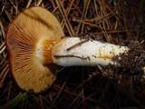 Cortinarius mucosus image