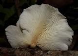 Pleurotus albidus image