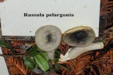 Russula pelargonia image