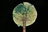 Lepiota trichroma image