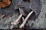 Amanita constricta image