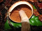 Cortinarius laniger image