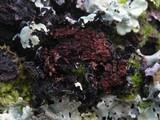 Parmelina carporrhizans image