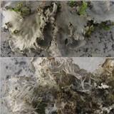 Peltigera membranacea image