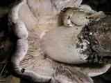Tricholoma atroviolaceum image