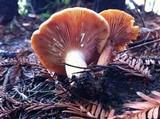 Lactarius fragilis var. rubidus image
