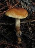 Pholiota spumosa image