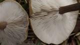 Melanoleuca stridula image