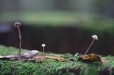 Mycetinis copelandii image