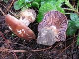 Cortinarius subpurpureophyllus image