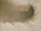 Lachnum brevipilosum image
