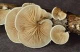 Crepidotus variabilis image