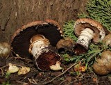 Agaricus brunneofibrillosus image