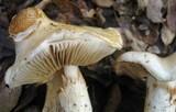 Cortinarius albofragrans image