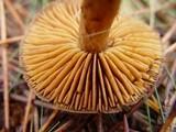 Cortinarius obtusus image