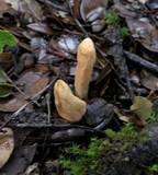 Clavariadelphus occidentalis image