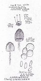 Coprinopsis stercorea image