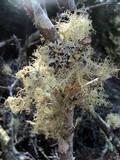 Usnea cornuta image