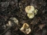 Russula globispora image