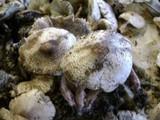 Leucoagaricus americanus image