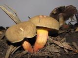 Boletus mendocinensis image