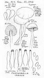 Psathyrella cernua image