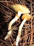 Suillus umbonatus image