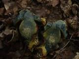 Boletus erythropus image